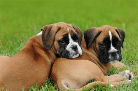 how to your boxer how to buy a boxer puppy from a breeder pets4homes