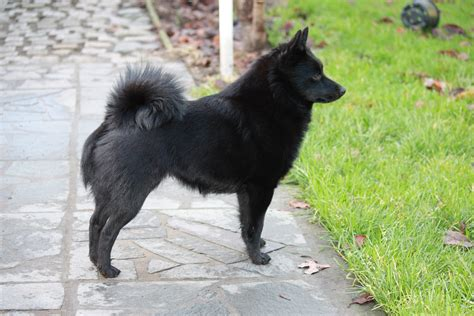 schipperke dogs breeds best small breeds belgium breeds breeds breeds picture