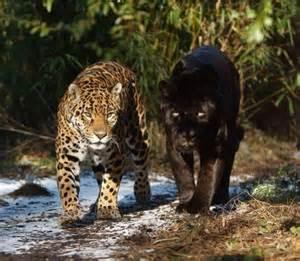 Tiger Cheetah Leopard Jaguar Panther Leopard Panther Wildlife