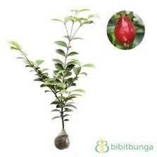 Tanaman Cherry Jepang 30 40cm tanaman surinam cherry cherry dewandaru
