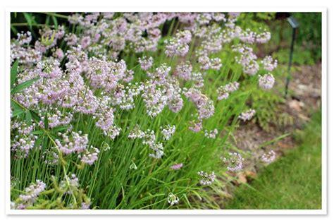 allium cernuum nodding onion sugar creek gardens