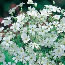 Benih Bunga Gypsophila White Monarch Baby Bearth bibit bunga baby s breath