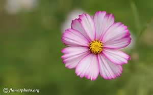 cosmos flower picture