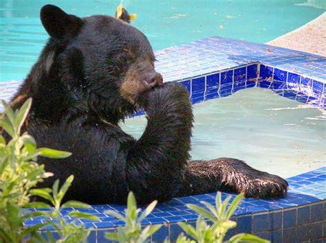 bear in a bathtub did you know that bears love hot tubs rising sun pools