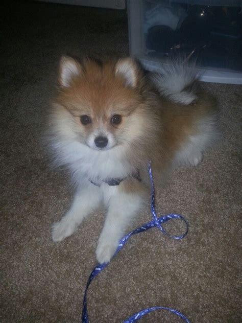 2 month pomeranian puppy 4 month pomeranian puppy pomeranian