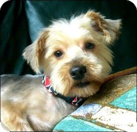 silky terrier and yorkie mix whiting nj silky terrier yorkie terrier mix meet galena a for