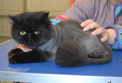 grooming service kylies cat grooming services