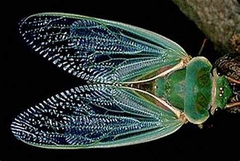 Insects That Shed Their Wings by A Green Grocer Cicada Drying Its Wings In The Sun After