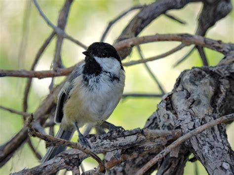 black capped chickadee colorado urban bird walk
