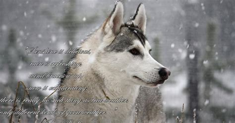7 Facts On Huskies by Husky Facts