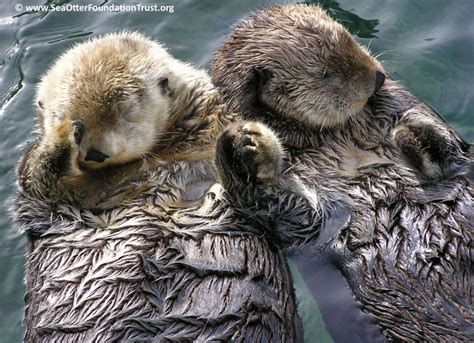 otter schlafen otters holding sea otters facts