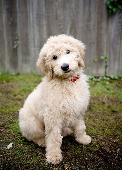 Goldendoodle Breed Information Pictures