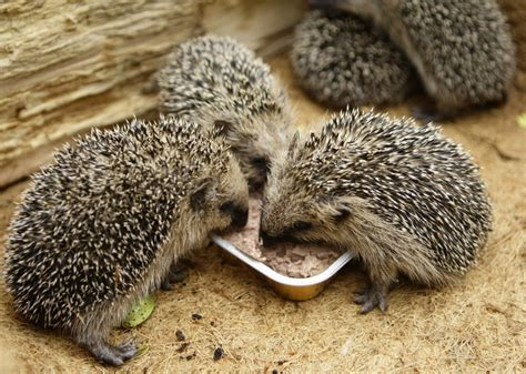 Where They Found hedgehogs at risk of extinction within 15 years new study