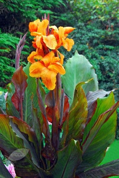 buy indian shot bulb canna wyoming  delivery  crocus
