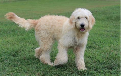 english goldendoodle english cream golden retriever puppies