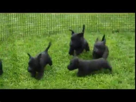 scottish terrier puppies for sale in pa scottish terrier puppies for sale in kearney nebraska ne fremont hastings