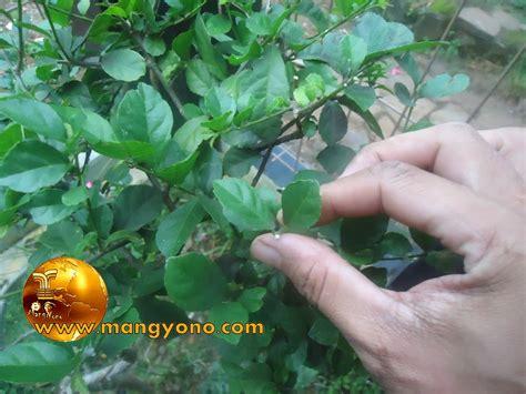 khasiat  pohon serut  pengobatan blog mang yono