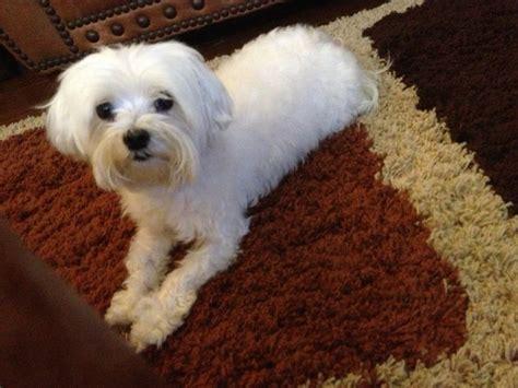 puppy cut maltese puppy cut maltese better living