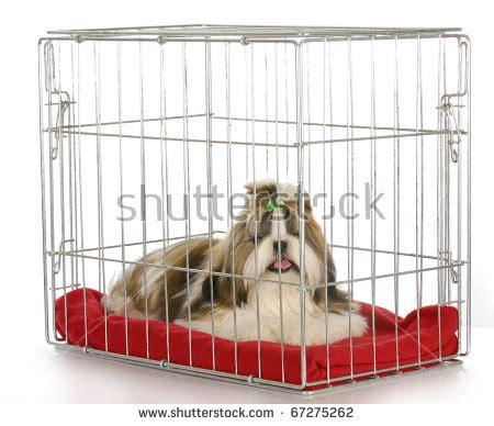 crate shih tzu in a crate purebred shih tzu puppy on white background stock photo 67275262