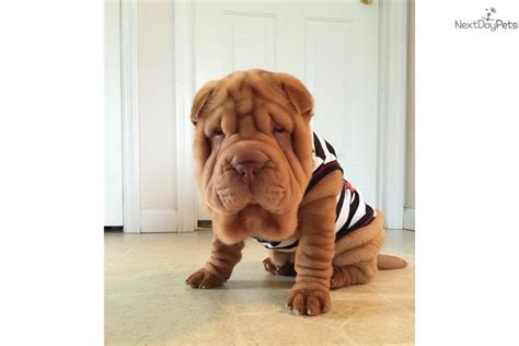 shar pei puppies for sale florida shar pei for sale in florida breeds picture