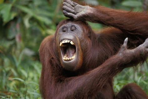 foto la delle risate solletico alle scimmie fa luce sull origine della risata