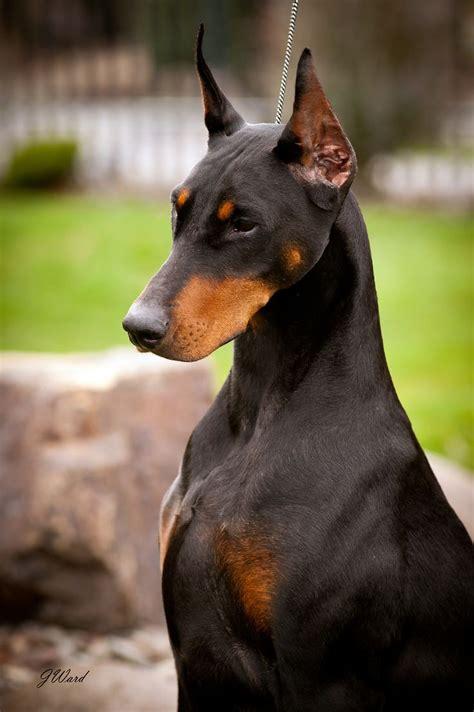 doberman dogs 25 best ideas about dobermans on doberman pinscher doberman pinscher