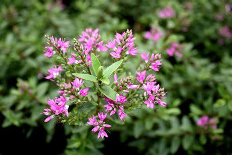 leaves pink flowers shrub mclarens nurseries