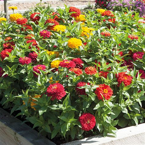 Benihbibitbijiseed Zinnia Early Mixed zinnia solmar mixed f1 seeds from mr fothergill s seeds and plants