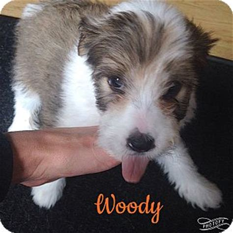 coton de tulear shih tzu mix coton de tulear shih tzu mix puppy for adoption in morris illinois woody