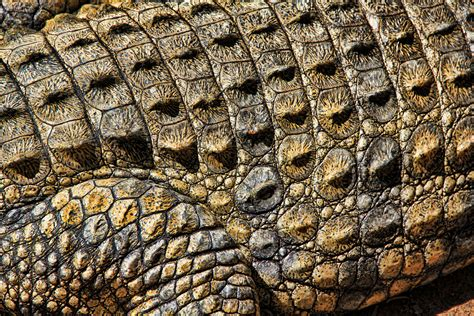 crocodile pattern en français free images nature abstract structure texture