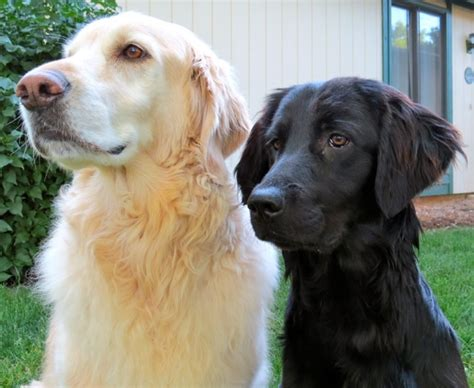 golden retriever freedom golden retriever freedom rockies the place that is totally run on foster homes no