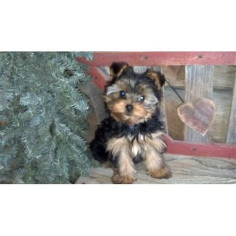 yorkie rescue mn blooming prairie yorkies and biewers terrier breeder in rock creek minnesota