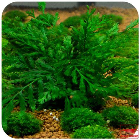 Pflanzen Kaufen 957 by Pflanzen F 252 R Den Hintergrund G 252 Nstig Kaufen Rendo Shrimp