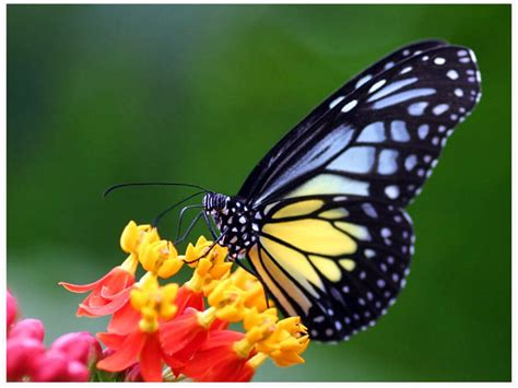 black wallpaper with yellow butterflies free blue and yellow butterfly wallpaper download the