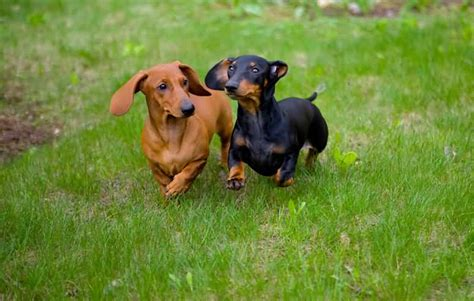 Black And Brown Brown Dachshund Www Imgkid The Image Kid Has It