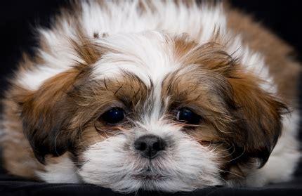types of shih tzu breeds istock 000005290430xsmall jpg shih tzu breeds