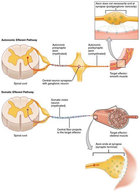 motor efferent nervensystem aufbau funktionsweise und erkrankungen