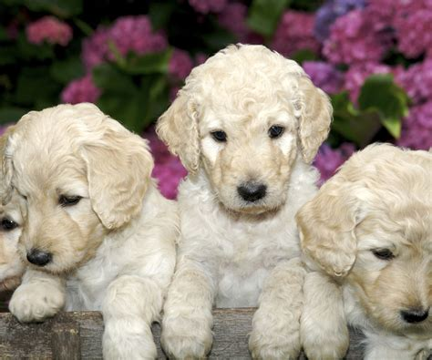 goldendoodle puppies for sale in tx labradoodle puppies for sale in goldendoodle