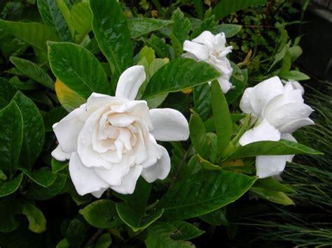 gardenia fiore gardenie piante da interno gardenie caratteristiche
