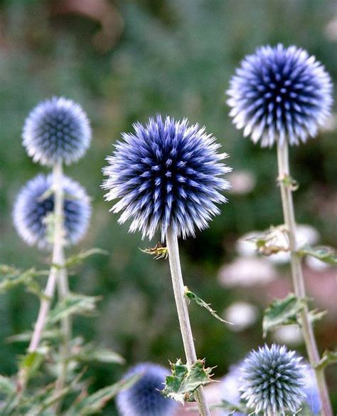 blue family in the garden globe thistle blue and white