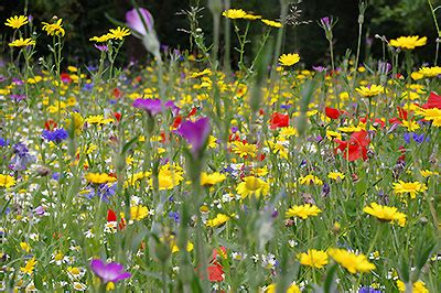 create a british wildflower meadow from seeds & plugs