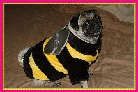 pug bumblebee costume nicoleta pug bee flickr photo