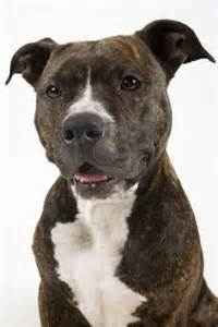 american pitbull terrier colors an americanstaffordshireterrier brindle i these