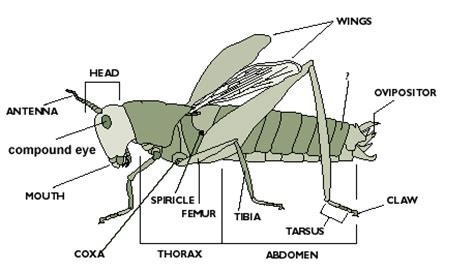 cricket anatomy diagram florida 4 h bug club bug diversity study guide