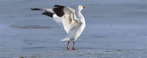 animali volanti oca delle nevi chen caerulescens foto animali volanti