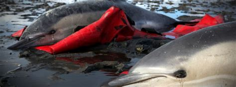 Stranding Record The Largest Stranding Of Dolphins On Record In The Northeast U S