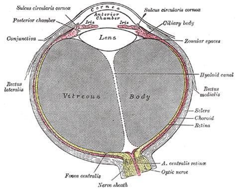 sectional anatomy of the eye the tunics of the eye human anatomy