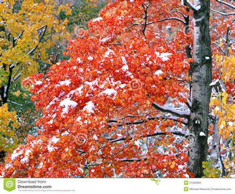 snow on maple leaves cooke maple tree in snow stock image image of autumn
