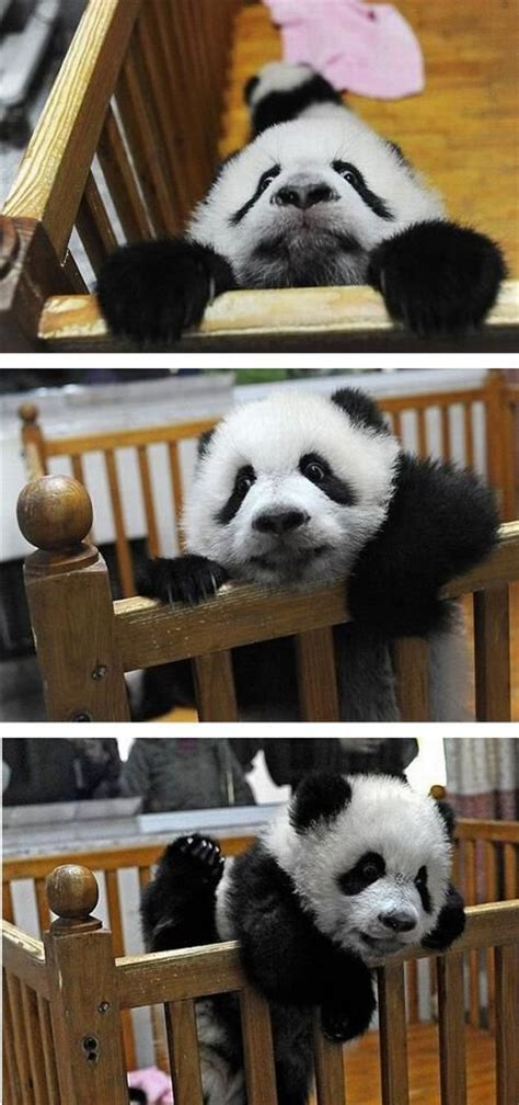 Baby Panda Climbing Out Of Crib by Best 25 Baby Pandas Ideas On Panda Baby