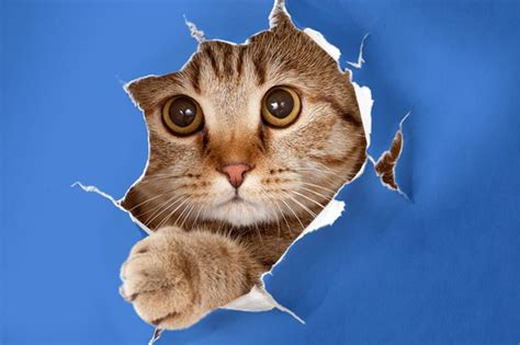 cat ripping wallpaper why do cats like to tear paper cuteness